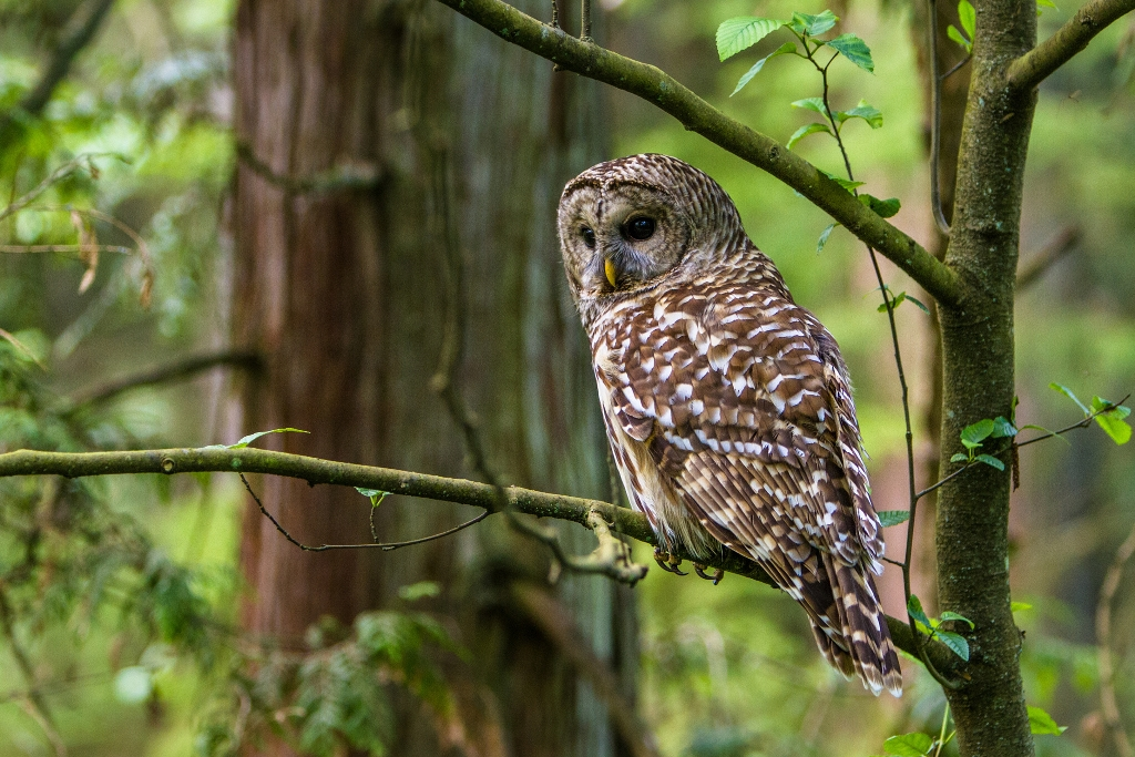 Barred Owl Lookout
